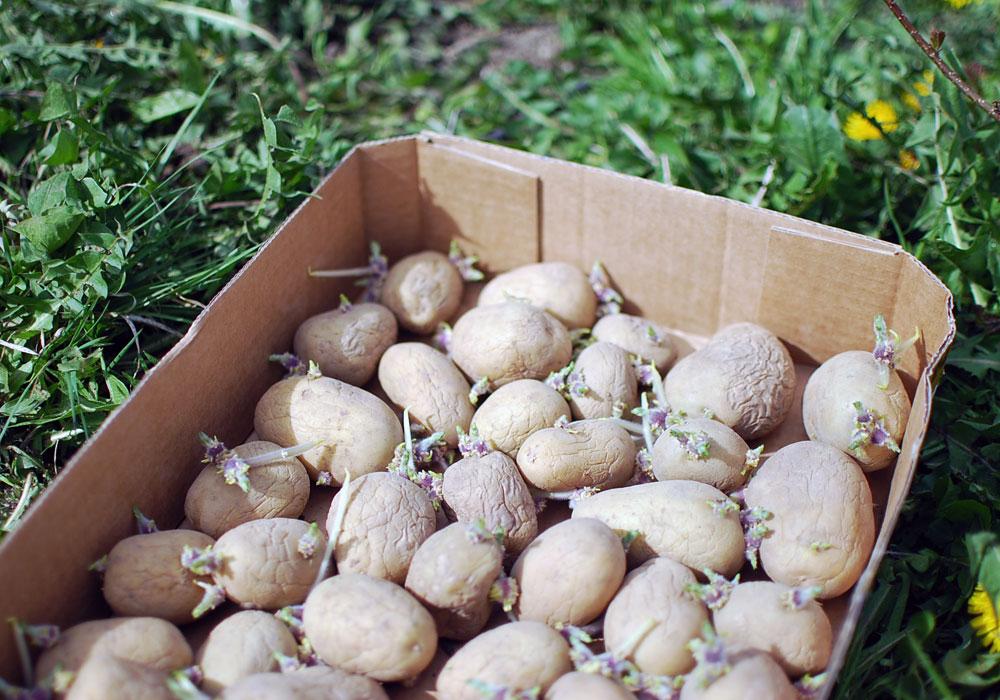 potatis_7